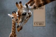 Staff at Chester Zoo have been celebrating after two endangered animals were born only days apart.