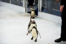 Liverpool ONE is facing criticism from animal charity PETA for their use of tropical penguins at their Ice Festival launch.