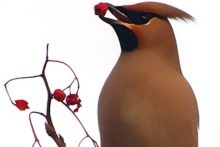 Flocks of exotic-looking Waxwings are visiting Merseyside in increasing numbers.