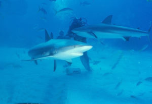 Sharks © Macorig Paolo/Flickr