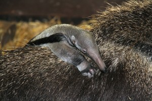 Baby ant-eater © Chester Zoo