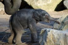 Chester Zoo has named its new baby elephant Bala Hi Way following a public vote.