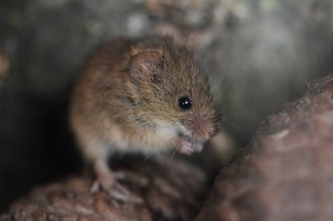 DESTROYED: Harvest Mice are one of the species that has had their habitats destroyed by the fire ©Flickr/Andrew Smithson
