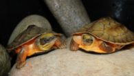 Two of the rarest turtles in the world have hatched in Chester Zoo