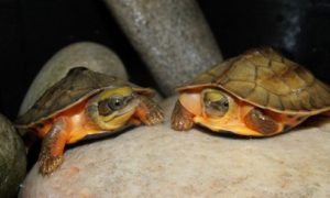 Golden Coin turtles at Chester Zoo © Chester Zoo