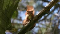 Red squirrels at Merseyside's National Trust reserve have shown signs of resisting a deadly pox virus.