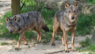 Knowsley Safari Park has welcomed two Iberian Wolves, which are the first there in the 42 years it has been open.