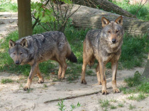 Iberian Wolves ©Wikipedia/Creative Commons