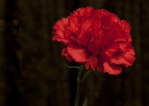 Red carnation © Anne Davis773/Flickr