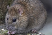 More than 6,000 complaint calls about rats in Liverpool have been made in the first nine months of this year.