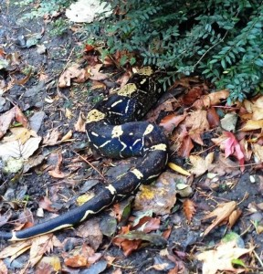 Snake found in Sefton Park. Pic © Peter Agate