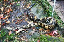 A man walking through Sefton Park got the surprise of his life when a 5ft-long python emerged from the bushes.
