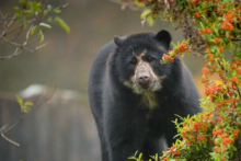 A spectacled bear has arrived at Chester Zoo after being matched as part of a breeding programme.