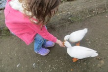The innocent act of feeding ducks bread in lakes such as Sefton Park is said to be damaging to birds and canals.