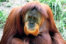 Scientists from LJMU find there are double the number of Sumatran orangutans than previously estimated.