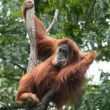 LJMU scientists join a group to make a discovery on the origin of the human language by studying orangutans.