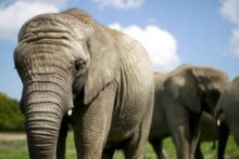 Knowsley Safari Park's elephant herd is moving to France with a smelly way of settling them in.