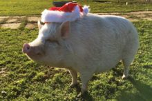 A 'psychic' pig living on Merseyside has predicted that Liverpool will win Sunday's derby clash with Everton.