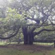 Campaigners hope Liverpool's entry has taken the 'root' to success in the European Tree of the Year awards.