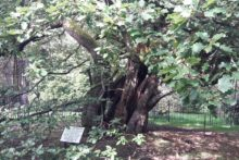 Liverpudlians must wait to see if the Allerton Oak will be crowned the Woodland Trust's Tree of the Year.