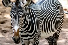 Knowsley Safari Park is set to reopen next month with some new animals on show and revamped facilities.